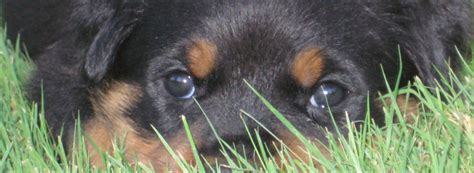 best rottweiler breeders in us best german rottweiler breeders in usa dogs our friends photo