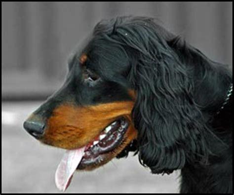 gordon setter dog names dog names for male gordon setter