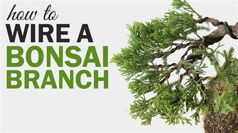 how to wire a bonsai tree branch
