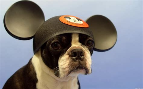 dogs wearing hats 20 adorable pictures of dogs wearing hats