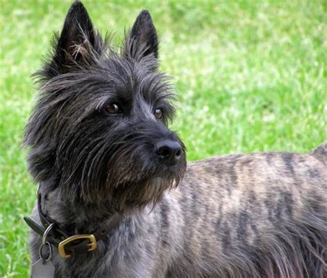 cairn terrier cut styles these enchanting cairn terriers are about to make your day