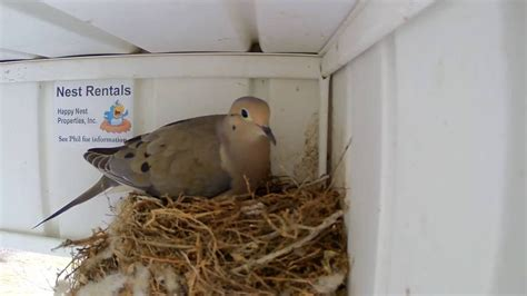 i m a dad bird nest dove cam changing of the guard