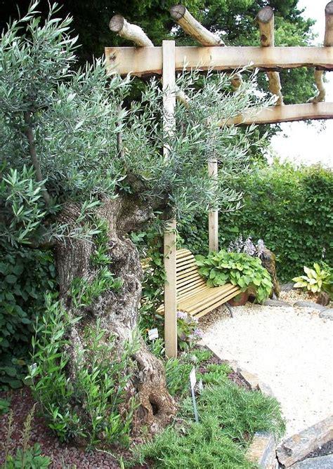 olivenbaum garten mediterraner garten mit ausgepflanzem uralten olivenbaum