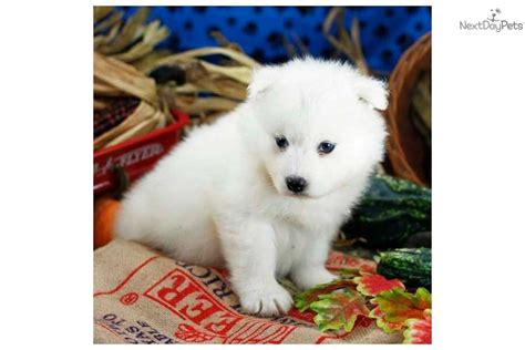 samoyed puppies for sale in ohio samoyed puppy for sale near lancaster pennsylvania 5a7a15b2 1071