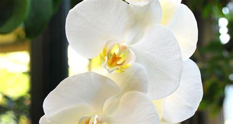 manutenzione orchidee in vaso manutenzione e cura delle orchidee cura orchidee