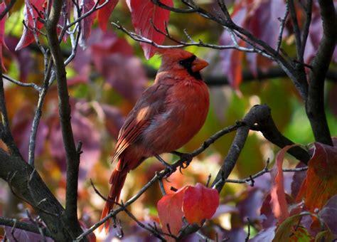 cardinal colors northern cardinal in dogwood feederwatch