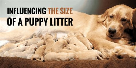 how many puppies are in an average litter what influences the size of a puppy litter
