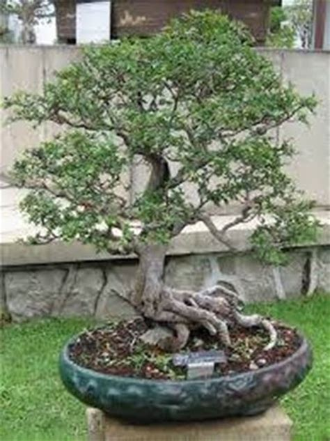vasi per bonsai vaso bonsai attrezzi per bonsai dimensioni vaso bonsai