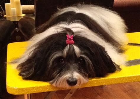 havanese arizona havanese breeder akc havanese puppies for sale newhairstylesformen2014