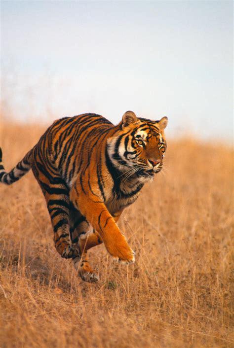 animal bengal tiger bengal tiger endangered species animal planet