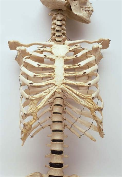 25 best ideas about human ribs on pinterest rib cage