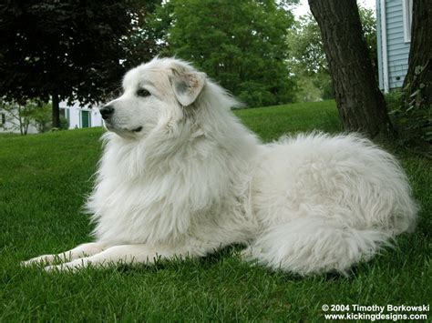 grand pyrenees kapanlagi wallpaper great pyrenees