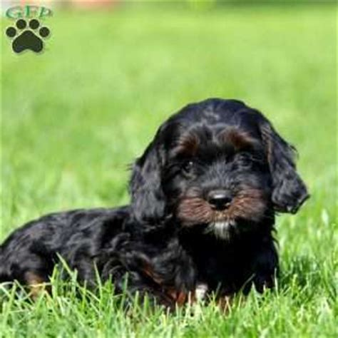 cockapoo puppies for sale in md cockapoo puppies for sale in de md ny nj philly dc and baltimore