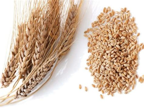 11 incredible wheat benefits organic facts
