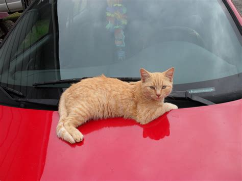 red light for cats light brown cat on red car by blackboost40 on deviantart