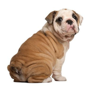 wrinkly breeds 10 most wrinkled and adorable breeds