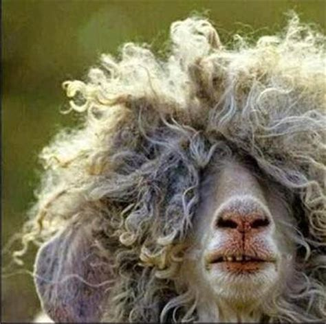 haircut sheep games 10 funny sheep that will make you giggle loveknitting blog