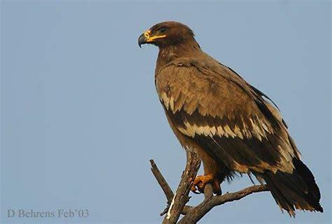 Aquila Hitam elang dan beberapa spesiesnya di dunia synaps