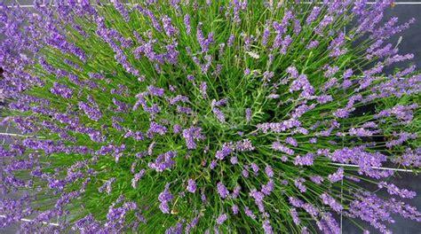 riviera fiori lavanda della riviera dei fiori va ad ormea per l expo