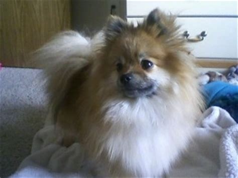 how does it take for pomeranian hair to grow pomeranian breed information and pictures