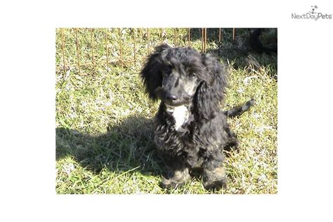 doxiepoo puppies ckc doxiepoo puppies mixed other puppy for sale near greenville upstate south