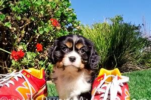 teacup bulldog puppies for sale in california cavalier king charles spaniel puppies for sale in california cavalier king charles