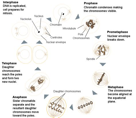 mitosis diagram mitosis diagram unmasa dalha