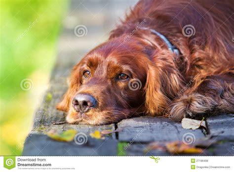 irish setter dog time red irish setter dog stock photo image of green wood