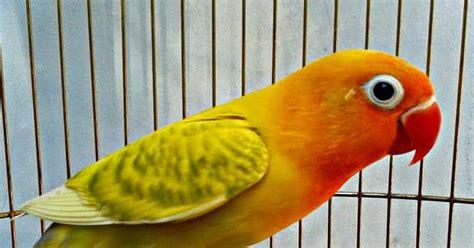 Harga Pakan Burung Pleci Import lovebird kepala emas dan blorok masih jadi primadona tahun