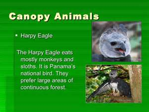 What Animals Live In The Canopy Layer the four layers of the amazon rainforest emmas project2