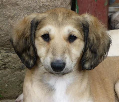 for puppies stunning saluki pups brechin angus pets4homes