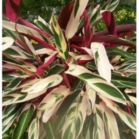 Bibit Tanaman Buah White Pome 40cm jual bibit unggul tanaman calathea merah putih bibit