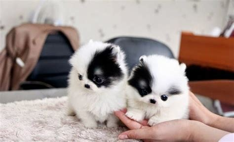 teacup puppies pictures types of teacup dogs breeds picture