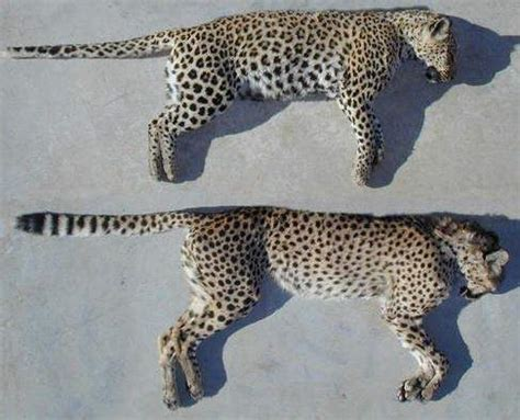 jaguar vs cheetah what s the difference between cheetahs cougars jaguars