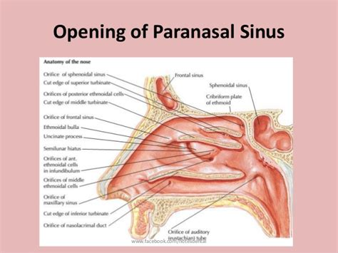 sinus diagram image gallery nasal sinuses