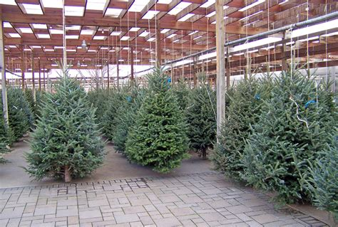 christmas trees for sale free stock photo public domain