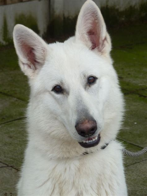 White Sale by 25 Best Ideas About White German Shepherds On