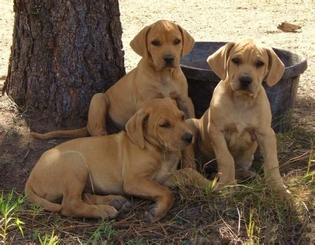 cur puppy blackmouth cur history