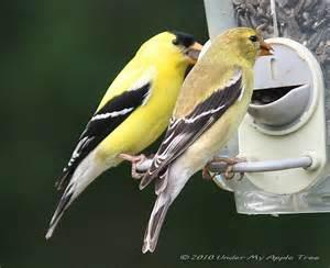 weekend birding american goldfinch under my apple tree