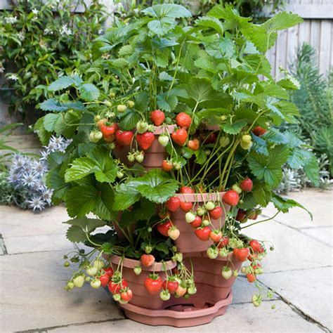 How To Plant Strawberries In A Strawberry Planter by Pomona Fruits Buy Fruit Trees Soft Fruit Bushes