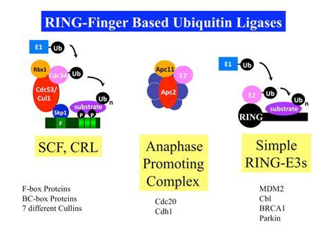 protein f box ubiquitin protein ligase complexes complexes des ligases