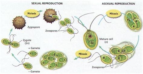 chlamydomonas cycle diagram science doing origin and evolution of in lower plants
