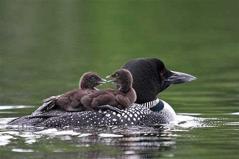 Common Loon | Naturally Curious with Mary Holland