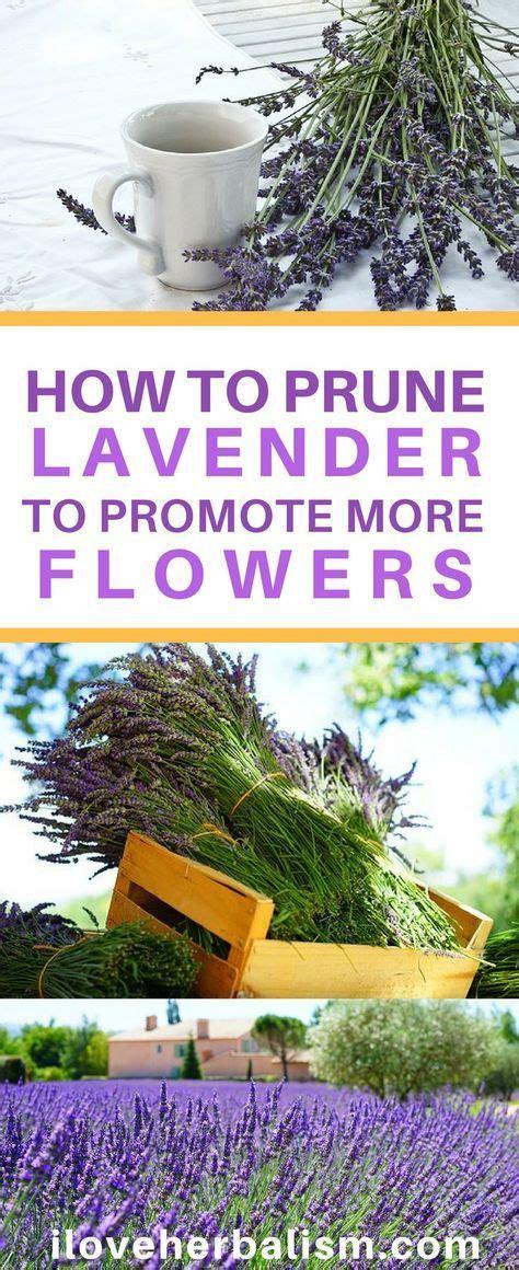 25 best ideas about lavender on pinterest growing