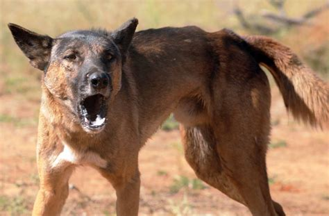 feral dogs council to review charters towers plus more