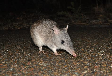 Long-nosed Bandicoot | Parameles nasuta | Mark Jekabsons ...