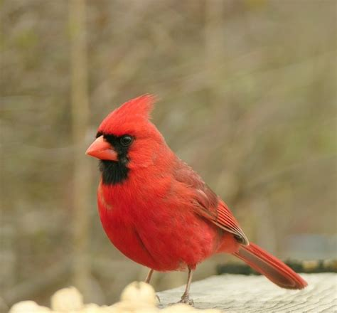 how to attract cardinals to your yard wild bird blog