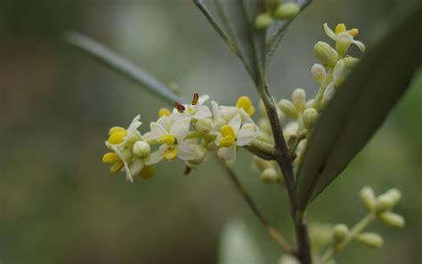 Flower Sg - olive flowers olivesandartichokes