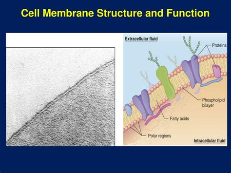 cell membrane structure  function powerpoint