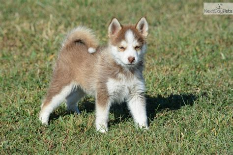 pomsky puppies for sale in pomsky puppy for sale near southeast ks kansas 38ac688d b131 pomskies